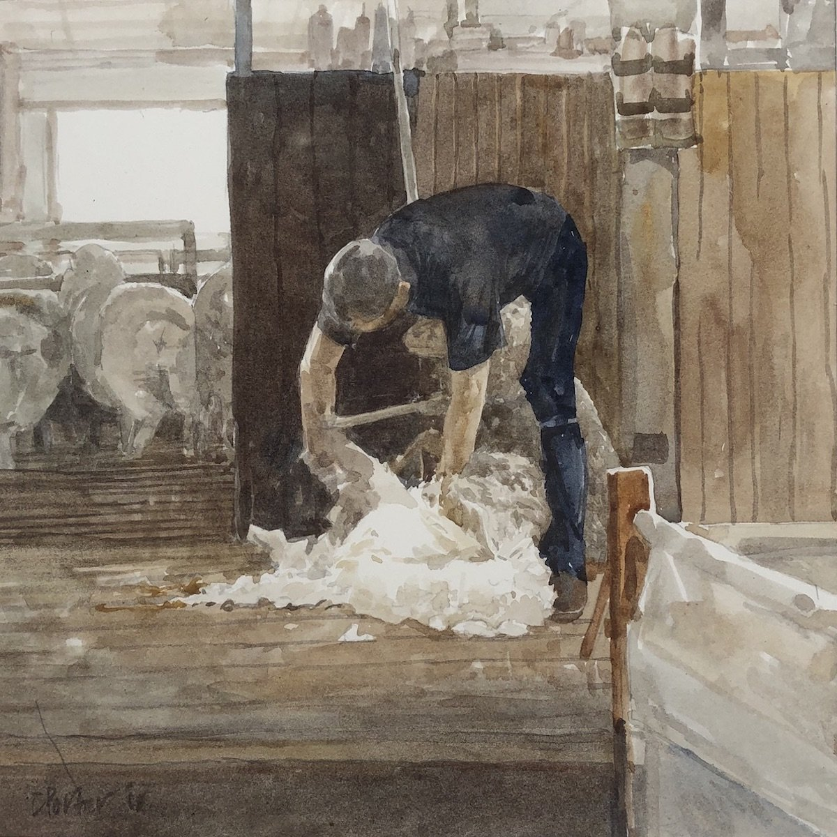 Watercolour painting by Christine Porter showing a shearer in a black shirt and pants bending over a sheep shearing. Behind him more woolly sheep are milling.