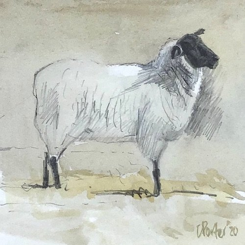 Watercolour painting by Christine Porter showing a Suffolk sheep, with its head cocked, it's standing well. There's a small patch on sunlight on it's back.